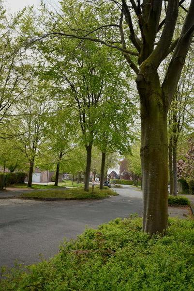 Wie positiv sich Straßenbäume für das Ortsbild auswirken, zeigt dieses Beispiel aus Telgte.