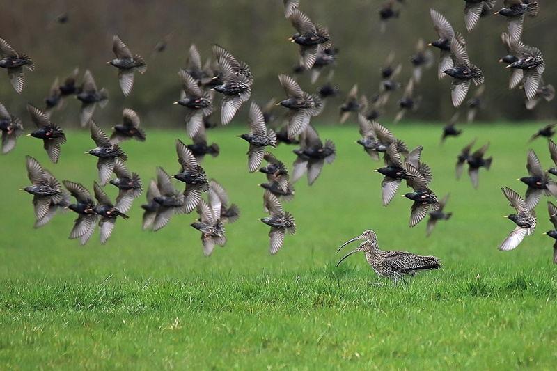 In der Beelener Mark: Fliegende Dohlen (Corvus monedula) und ein Bachvogelpaar (Numenius).