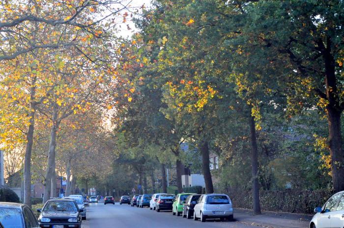 Eine schützenswerte warendorfer Allee in der Kardinal-von-Galen-Straße mit etwa 80 großen Bäume.